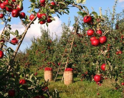 Jak připravit jablečná povidla