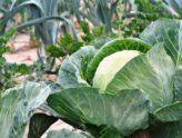 Jak zalévat zeleninový záhon