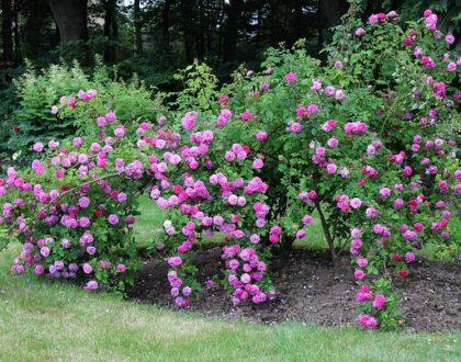 Jak a kde sázet růže