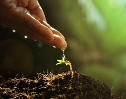 Rýmovník a jeho pěstování